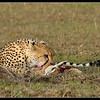 Cheetah Feeding, Mara North Conservancy, Kenya, 2009