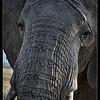 Elephant Bull, Ol Pejeta Conservancy, Kenya 2011