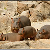 Hippos Out of Water, Ruaha, Tanzania, 2008