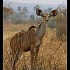 Greater Kudu, Ruaha, Tanzania, 2008