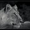Lioness, Olare Orok Conservancy, Kenya 2011