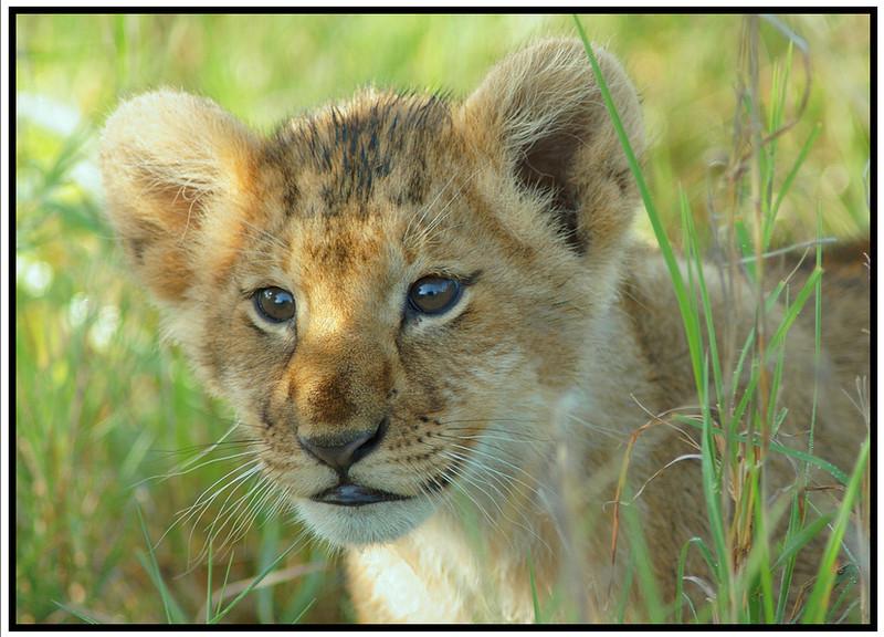 Very Young Cub, Olare Orok, Kenya, 2008