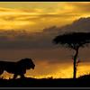 Lion, Lemek Conservancy, Kenya, 2009