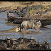 Not Giving Up, Mara River, Kenya 2011