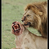 Tough Love, Maasai Mara Reserve, 2009
