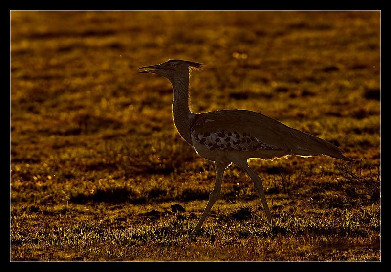 Kori Bustard, CKGR, Botswana, 2010