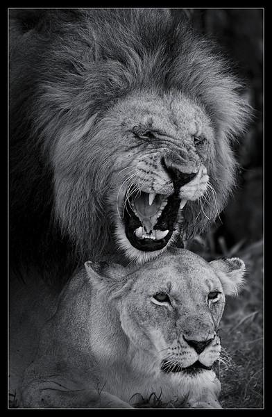 Mating Lions, Maasai Mara Reserve, Kenya, 2009