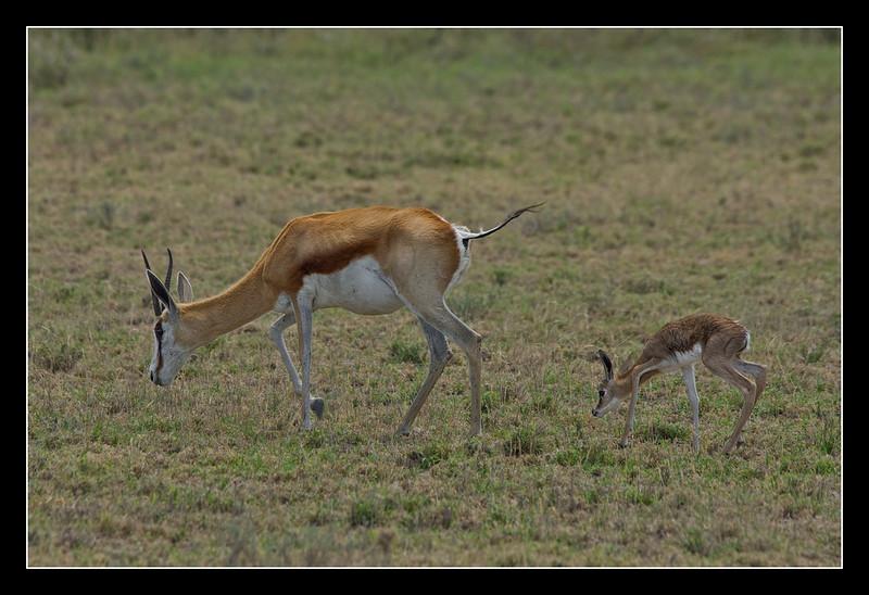 Imprinting - Springbok and newborn calf, Central Kalahari Game Reserve, Botswana, 2010