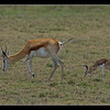 Imprinting - Springbok and newborn calf, Central Kalahari Game Reserve, Botswana, 2010