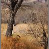 Steenbok in Habitat, Ruaha, Tanzania, 2008