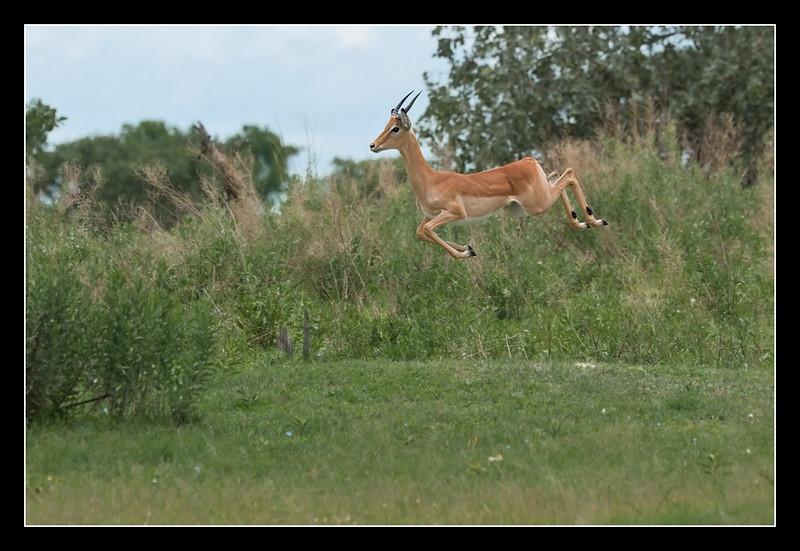 Impala Leaping, Moremi, Botswana, 2011