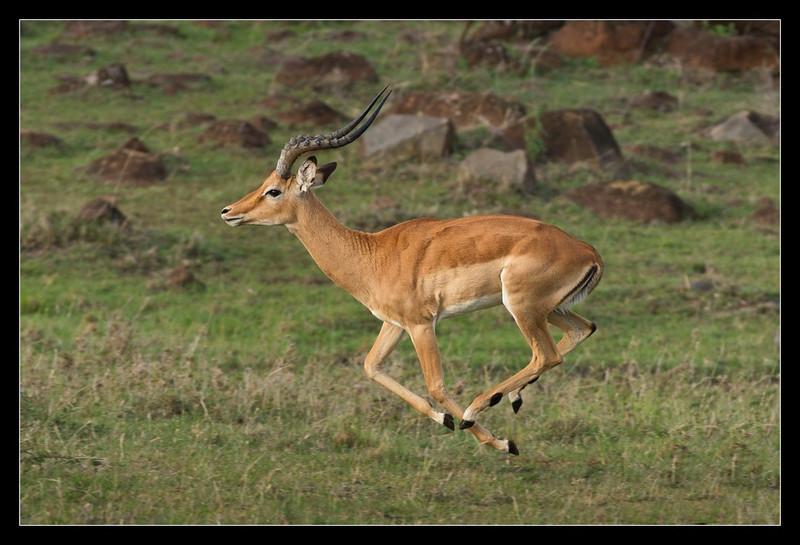 Impala, Olare Orok Conservancy, Kenya 2011