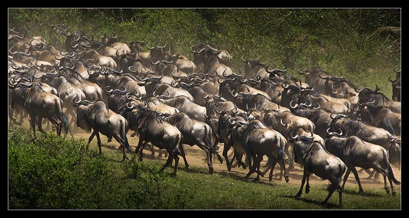 Wildebeest Movement, Maasai Mara Reserve, Kenya 2011