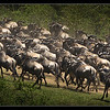 Wildebeest Movement, Maasai Mara Reserve, Kenya 2011