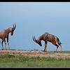 Topi Challenge, Maasai Mara Reserve, Kenya 2011