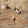 Crowned Plovers, Tsavo East, Kenya, 2008