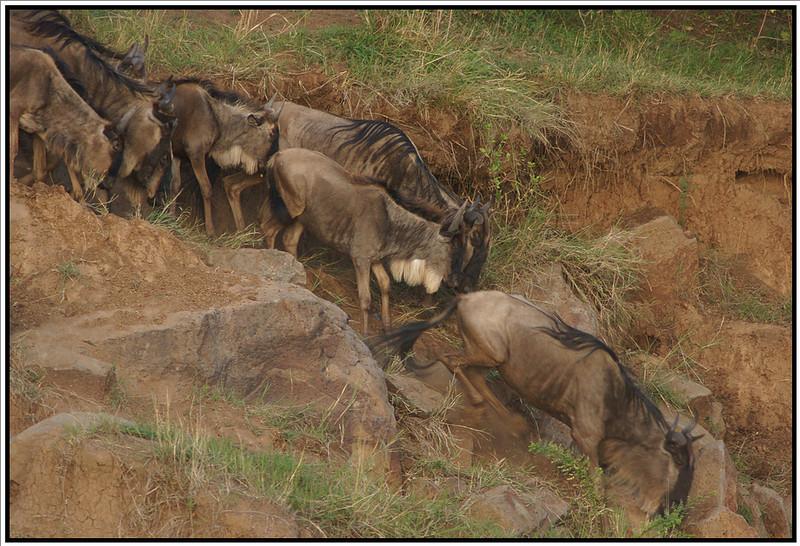 Wildebeest River Crossing, Maasai Mara Reserve, Kenya, 2008