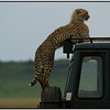 THere's Something on Your Car, Maasai Mara Reserve, Kenya, 2008