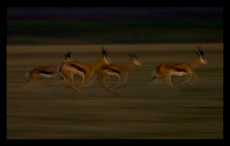 Springbok in the Night, CKGR, Botswana, 2010