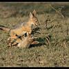 Jackal Pup Play, Olare Orok Conservancy, Kenya 2011