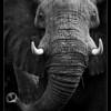 Elephant, Makgadikgadi National Park, Botswana, 2010