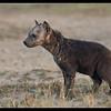 Hyena Pup, Ol Pejeta Conservancy, Kenya 2011