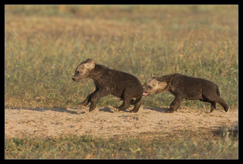 Frolics, Hyena pups, Ol Pejeta Consevancy, Kenya, 2011