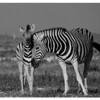 Another Zebra and Foal, Etosha, Namibia, 2007