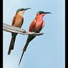 Carmine Bee-eater and Juvenile, Moremi, Botswana, 2010
