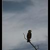 Snake Eagle, Moremi, Botswana, 2010