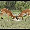 Impala Dispute, Maasai Mara Reserve, Kenya, 2008