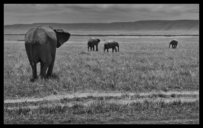 Elephant Family, Maasia Mara Reserve, Kenya 2011