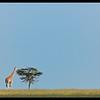 Giant, Ol Pejeta Conservancy, Kenya 2011