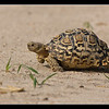 Leopard Tortoise on the Run, Deception Valley Lodge, Botswana, 2010