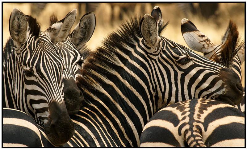 Zebra Support Group, Tarangire, Tanzania, 2008