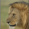 Lion in the Rain, Olare Orok, Kenya, 2009