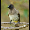 Dark-capped Bulbul, Mara North Conservancy, Kenya, 2009