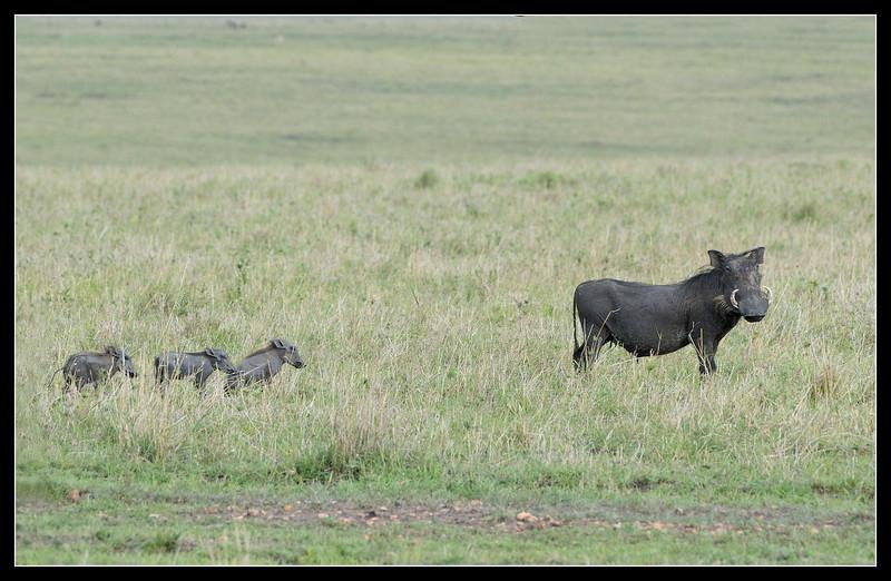 Warthog Family on the Move, Maasai Mara Reserve, Kenya, 2009