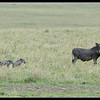 Warthog Family on the Move, Maasai Mara Reserve, Kenya, 2009