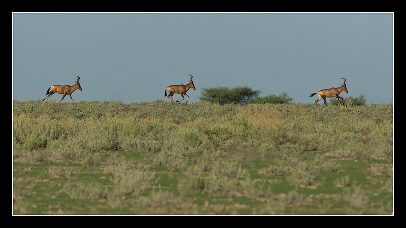 Red Hartebeest on the Dunes, Central Kalahari Game Reserve, Botswana, 2010