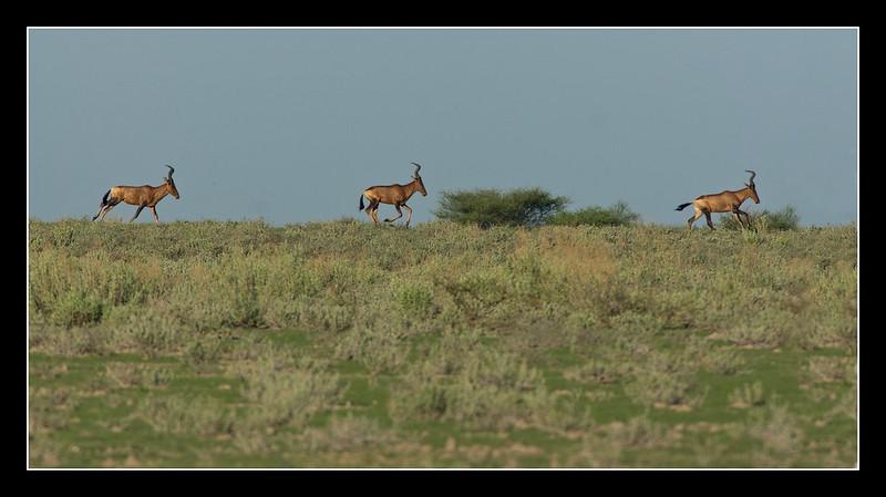 Red Hartebeest on the Dunes, Central Kalahari Game Reserve, Botswana, 2010