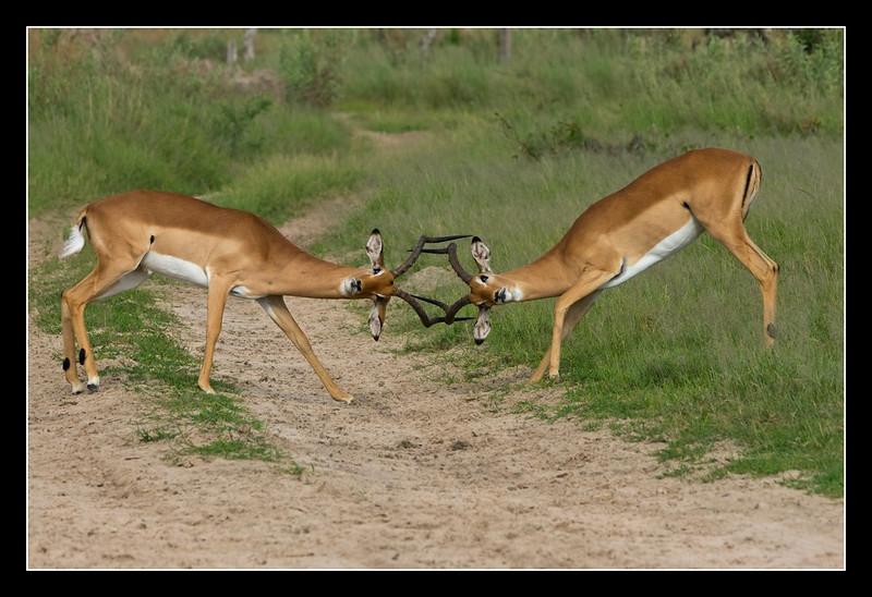 Standoff, Moremi, Botswana, 2010
