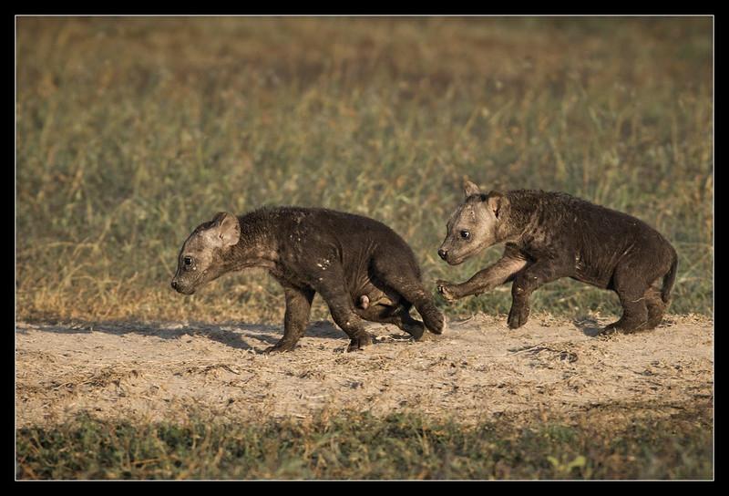 Hyena Pups at Play, Ol Pejeta Conservancy, Kenya 2011
