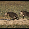 Hyena Pups at Play, Ol Pejeta Conservancy, Kenya 2011