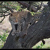 Young Leopard, Olare Orok Conservancy, Kenya 2011