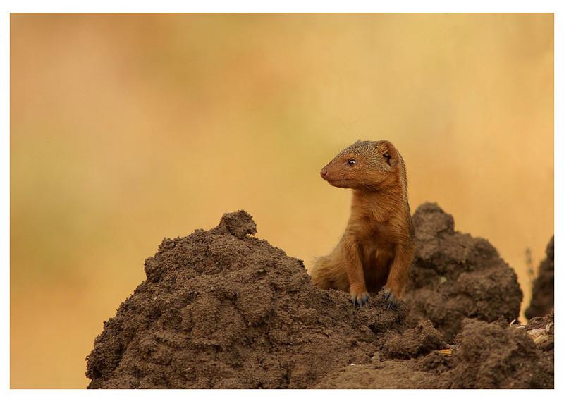 Dwarf Mongoose and Termite Mound, Tarangire, Tanzania, 2008