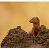 Dwarf Mongoose and Termite Mound, Tarangire, Tanzania, 2008
