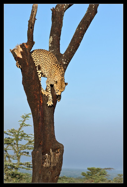 Cheetah in a Tree, Ol Pejeta Conservancy, Kenya 2011