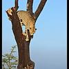 Cheetah in a Tree, Ol Pejeta Conservancy, Kenya 2011