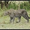 Leopard Stalking, Maasai Mara Reserve, Kenya, 2009
